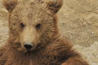 Die berner Bären