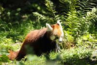 Zürich Zoo; Kleiner Panda