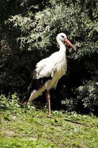 Züri Zoo 2011; Der Storch